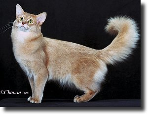 Somali Breed Council About The Somali Breed