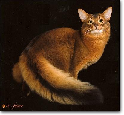 Somali Cat Breed Information